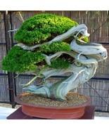 00pcs flower pots bonsai juniper juniper bonsai seeds purify the air abs... - $9.99