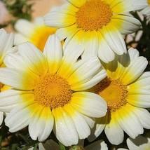 Daisy Seeds, Garland Daisy Seeds, FREE SHIPPING, Rabbit Rescue Donation - $2.50
