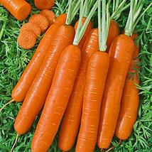 300 Scarlet Nantes Carrot Seeds Heirloom 2019 ( Non-Gmo Free Shipping! ) - $5.12