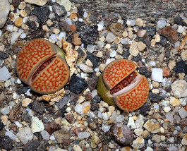 Rare Lithops Hallii Ochracea Living Stones Rock Red Mesemb Exotic Seed 30 Seeds - $7.99
