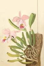 Cattleya Nossiae by H.G. Moon #2 - Art Print - $19.99+