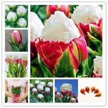 2pcs True Lce Cream Tulips Bulbs (Not Tulip Seeds) - $11.30