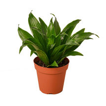 "Live Plant - Dracaena Janet Craig - 4"" Pot - Houseplant - Outdoor Living - $40.99"