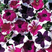 75 Pcs Petunia Seeds, Picotee, Multiflora Petunia Seeds, Hanging Baskets... - $13.99