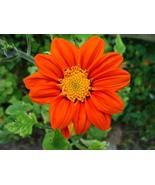 Mexican torch sunflower 25 fresh seeds - $7.99