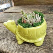 "Echeveria in Turtle Planter, Live Succulent, 5"" Green Ceramic Tortoise Pot image 8"