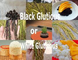 Thai Glutinous Sticky Rice 100 Heirloom Seeds ORYZA SATIVA Choose Black or White - $2.85+
