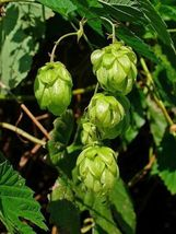 SHIP FROM US 25 COMMON HOPS European Humulus Lupulus Vine Seed SBR4 - $12.00