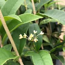 Tea Olive (Osmanthus Fragrans Aurantiacus) Fragrant Sweet Olive - Southstr - $38.65