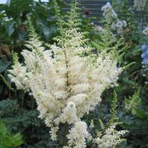 150 seeds Beautiful White Astilbe Chinensis Flowers - $12.99