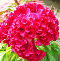 100 Cockscomb Seeds Celosia Cristata Ornamental Garden Flowers Home and ... - $19.99
