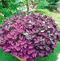 2pcs Red Woodsorrel Oxalis Corymbosa Flower Seed Very Wonderful IMA1 - $13.99