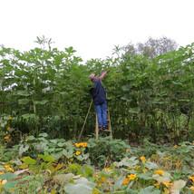 25 World's Tallest Tree Okra Seeds-1309 - $2.98