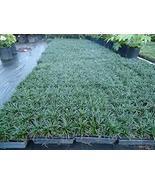 Mondo Grass, 50 pack Fully Grown Plants - $13.99 - $225.00