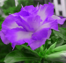 2pcs Beautiful QIYU Adenium Light Purple with White Color Flowers Seeds ... - $14.99