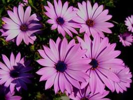 Dimorphotheca Purple African Cape Daisy Flower 25 Seeds - $15.50