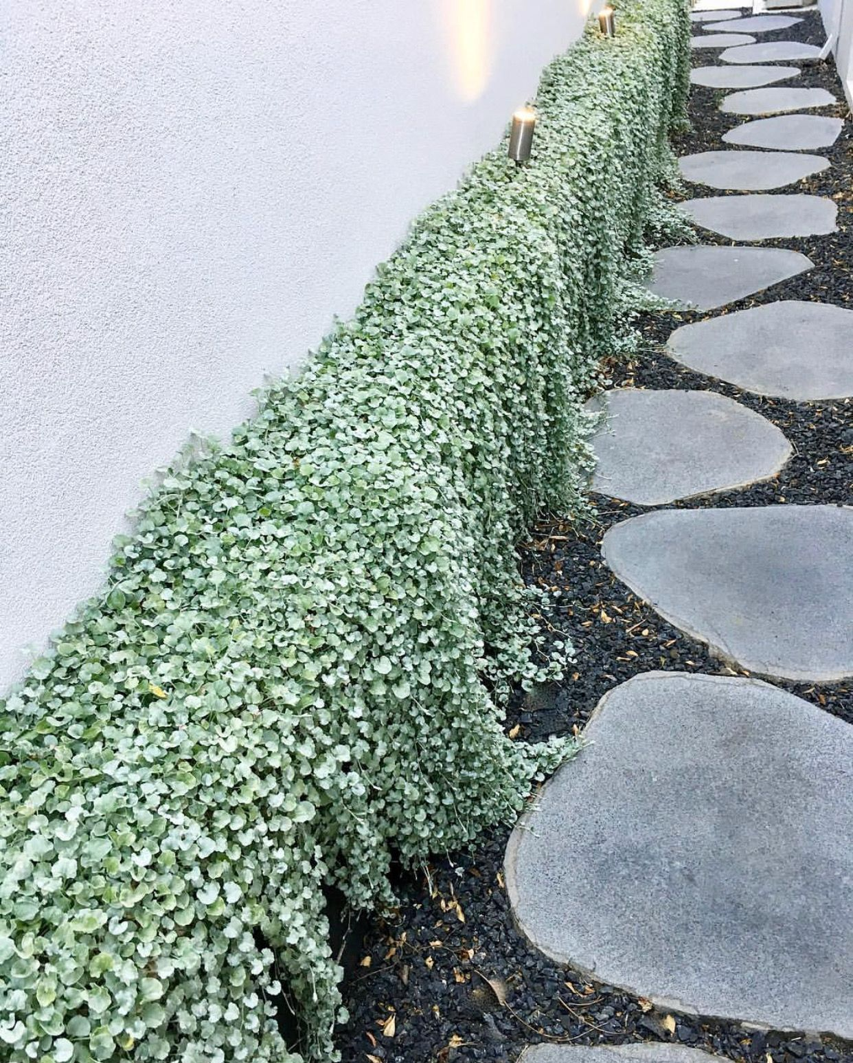 Primary image for 200 Seeds Dichondra Repens Silver Falls Emerald Ground Cover