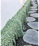 200 Seeds Dichondra Repens Silver Falls Emerald Ground Cover - $5.88
