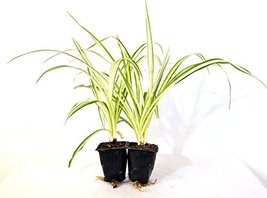 2 Pack Mature Hardy Starter Plant Ocean Spider Plant Cleans The Air - $23.75