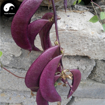 Buy Purple Moon Beans Vegetable Seeds 50pcs Plant Lentils Bean Lablab Pu... - $5.99