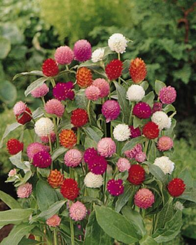 Primary image for Gomphrena Buddy Series Mix Annual Seeds