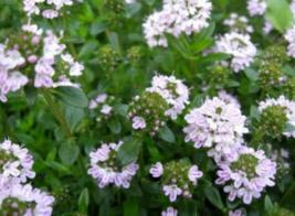 150 Pcs Seeds Satureja Montana Creeping Winter Savory Flower - DL - $16.00