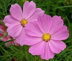 30 seeds of Cosmos Sonata Pink Flower - $15.72