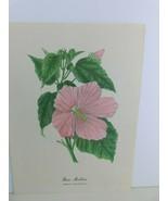 VTG Rose Mallow (Hibiscus Moscheutos)  9x12 Frameable Print Nature Flower - $11.75