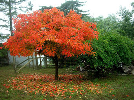 American Persimmon tree (Diospyros virginiana 'American) quart pot image 1