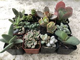2 in. Fully Rooted Unique Rare Succulent Collection (Pack of 6) image 3