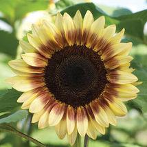 Red/Lemon Bicolor Sunflower Seed, Sunflower Seeds - $21.00