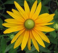 Green Eyed Daisy Seeds, Rudbeckia Hirta, Green Eye Daisies, Heirloom See... - $21.59