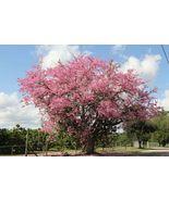 10 Pcs Silk Floss Tree Seeds #MNHG - $12.50