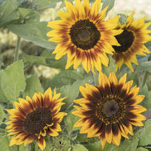 Ring of Fire Sunflower Seed, Sunflower Seeds - $21.00