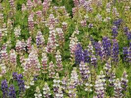 SHIP FROM US 7,500 Lupine Dwarf Pixie Delight Seeds, ZG09 - $75.96