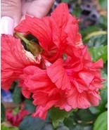 "POM POM STARTER LIVE PLANT 5"" TALL PLUG SIZE - EXOTIC RED LION TAIL HIBI... - $30.99"