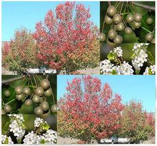 10 Bradford Callery Pear Tree Seeds - Pyrus calleryana - $6.00