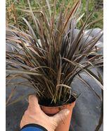 Phormium tenax Dwarf atropurpureum PURPLE NEW ZEALAND FLAX Live 1-gallon... - $57.00