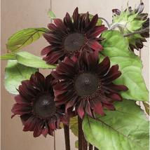 Red Hedge Sunflower Seed, Sunflower Seeds - $21.00