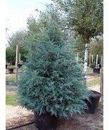 TEN Carolina Sapphire 'Cupressus arizonica' Evergreen - $168.30
