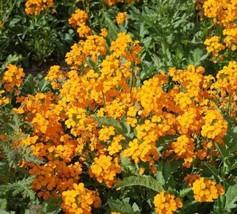 Siberian Wallflower Seeds. 350+ seeds, or 1/2 gram - $12.00