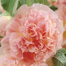 40 Peaches and Dreams Hollyhock Fresh Seeds - $7.20