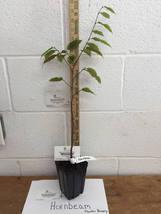 American Hornbeam tree (Carpinus caroliniana) quart pot image 3