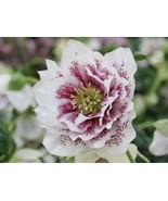 """HS Garden - 50 seeds Double Helleborus """"Painted"""" Bonsai plants - $2.50"""