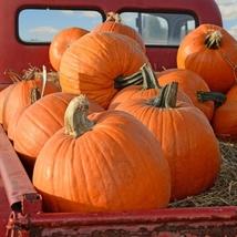 Pumpkin Seeds - Big Max - Gardening -  Outdoor Living - FREE SHIPPING - $28.99+