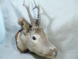 VTG 6 POINT TROPHY WALL MOUNT DEER HEAD W/ 20cm ANTLERS TAXIDERMY HUNTIN... - $197.01
