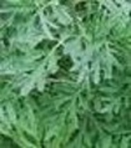 Herb - Wormwood - Non-Hybrid - Non-GMO - St. Clare Heirloom Seeds - $1.99