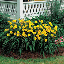 Stella de Oro Daylily 10 fans/roots reblooming yellow blooms image 2