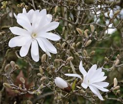 SHIP From US, Star Magnolia- Magnolia stellata BV03 - $23.99