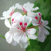 50 Blizard White Geranium Seeds Hanging Basket Perennial Flowers - TTS - $29.95